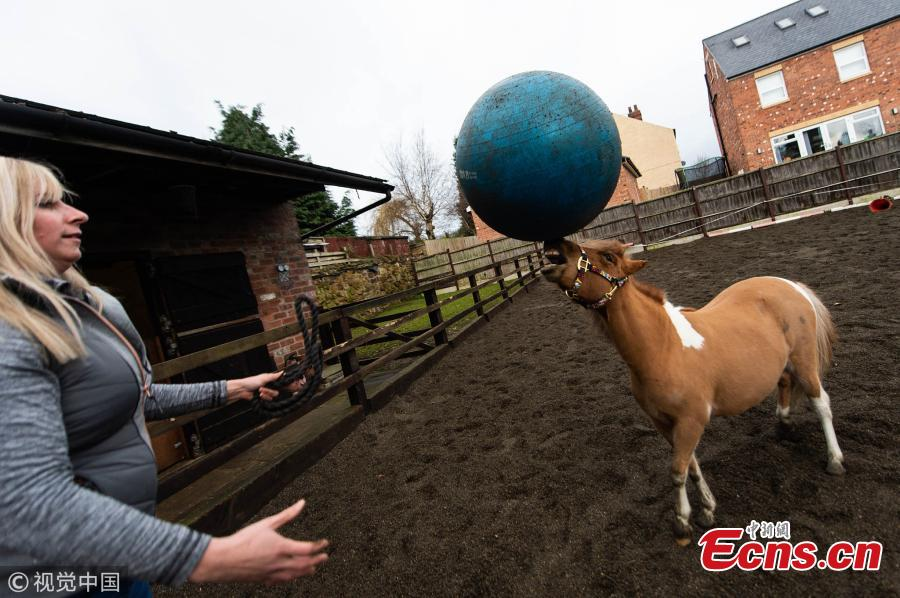 One-year-old Tony the pony has developed a love for the ball after his owner Kristy Simpson, 37, got him one to play with as a foal at home near the British city of Leeds. (Photo/VCG)