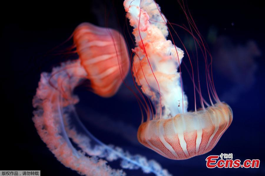 This picture taken on Jan. 16, 2019 shows jellyfish in a tank during the opening of the new jellyfish section of the Aquarium of Paris. The new display of the Aquarium of Paris is now among one of the world\'s first jellyfish collections and aims at raising public awareness on climate change and oceans conservation. (Photo/Agencies)