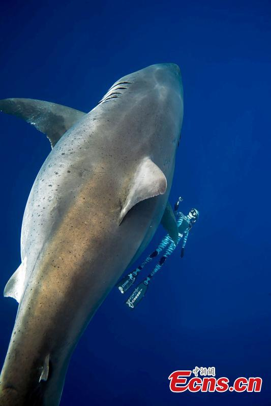 A team of divers has had a close encounter with Deep Blue, one of the biggest great white sharks on record. She is 20 feet long and estimated to be up to 50 years old. One of the divers, Ocean Ramsey, said that they had been filming tiger sharks feeding on the whale when the shark arrived. (Photo/Agencies)