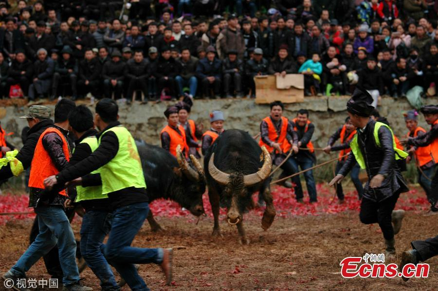 Villagers watch a traditional buffalo fight in Congjiang County, Southwest China\'s Guizhou Province. Eighteen buffalos participated in the annual fight, held to celebrate the upcoming Spring Festival, China\'s Lunar New Year that falls on February 5 this year. (Photo/VCG)
