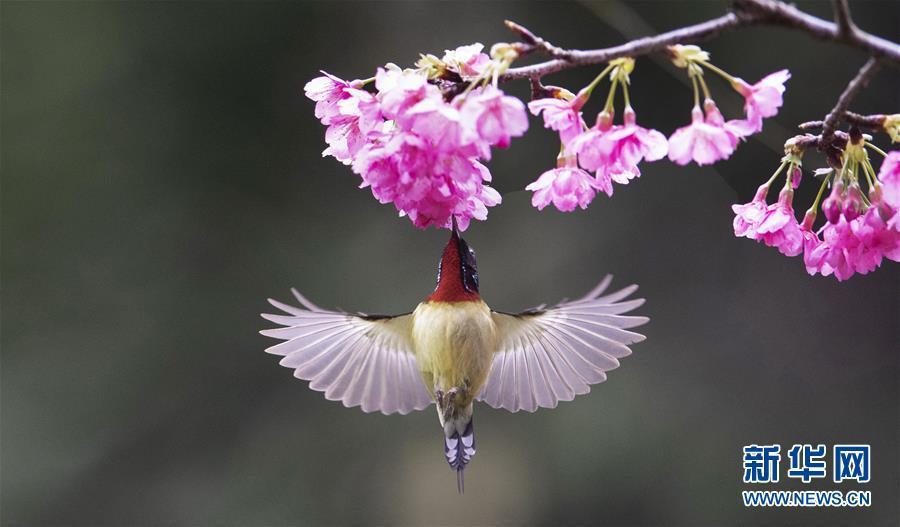 A sunbird gathers honey from blooming cherry at the Fuzhou National Forest Park in Fuzhou, capital of southeast China\'s Fujian Province, Jan. 17, 2019. (Xinhua/Mei Yongcun)