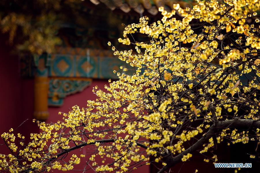 Photo taken on Jan. 18, 2019 shows wintersweet flowers at Mingxiaoling Mausoleum scenic area in Nanjing, capital of east China\'s Jiangsu Province. (Xinhua/Su Yang)