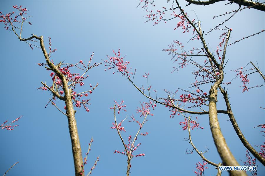Photo taken on Jan. 18, 2019 shows plum flowers in Shexiang ancient town in Dafang County, Bijie City of southwest China\'s Guizhou Province. (Xinhua/Luo Dafu)