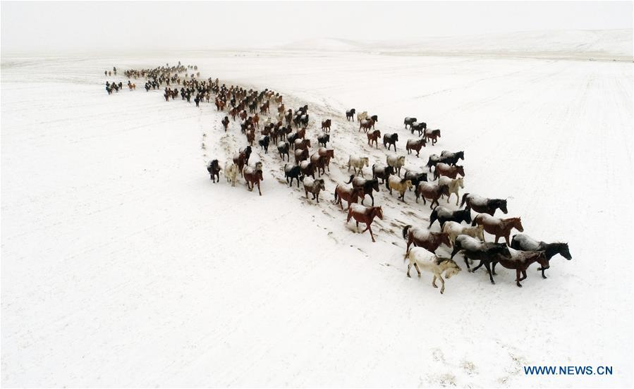 Aerial photo taken on Jan. 20, 2019 shows a herd of horses running on the snow-covered grassland at a horse ranch in Shandan County of Zhangye City, northwest China\'s Gansu Province. (Xinhua/Wang Chao)