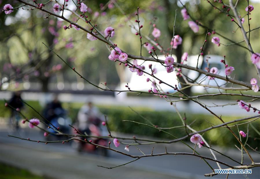 Photo taken on Jan. 18, 2019 shows the plum flowers on a street of Zhoushan City, east China\'s Zhejiang Province. (Xinhua/Hu Sheyou)