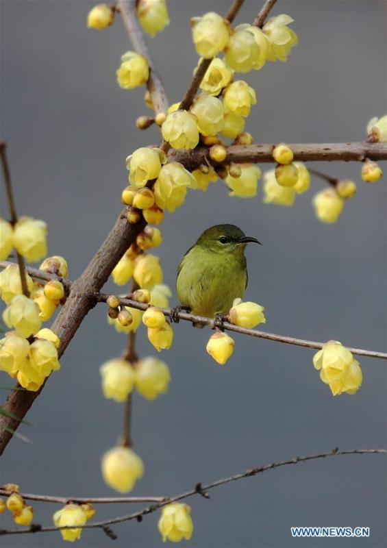 A bird rests on a wintersweet tree in Hebin Park in Chongqing, southwest China, Jan. 17, 2019. (Xinhua/Yang Min)
