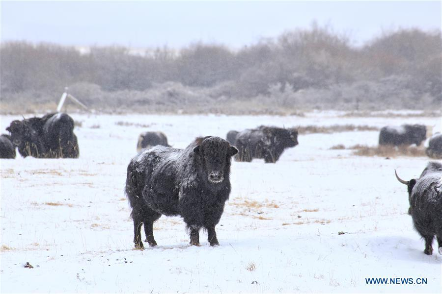 Photo taken on Jan. 20, 2019 shows yaks on the snow-covered grassland at a horse ranch in Shandan County of Zhangye City, northwest China\'s Gansu Province. (Xinhua/Wang Chao)