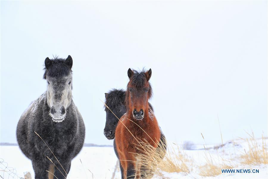 Photo taken on Jan. 20, 2019 shows horses on the snow-covered grassland at a horse ranch in Shandan County of Zhangye City, northwest China\'s Gansu Province. (Xinhua/Wang Chao)