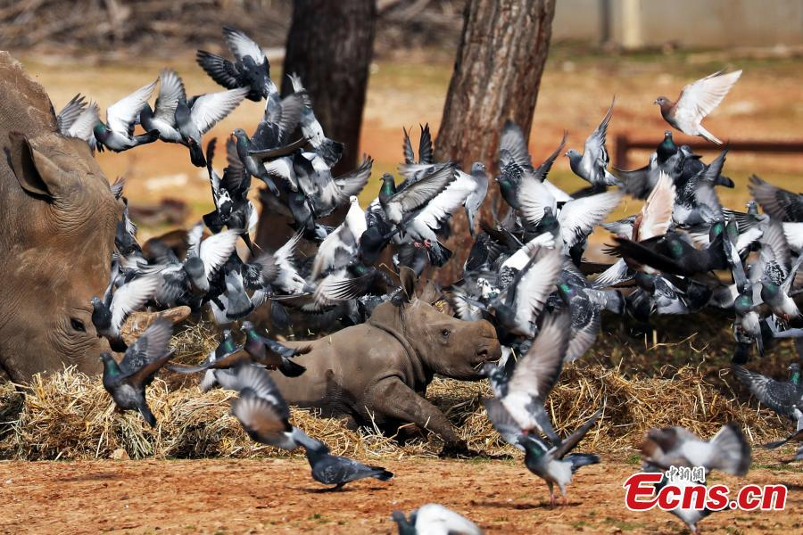 Pigeons fly nearby as a white rhinoceros, named Karen Peles, stands next to her second calf, a 3-week old female, at the Safari Zoo, in Ramat Gan, Israel, Jan.21, 2019. (Photo/Agencies)