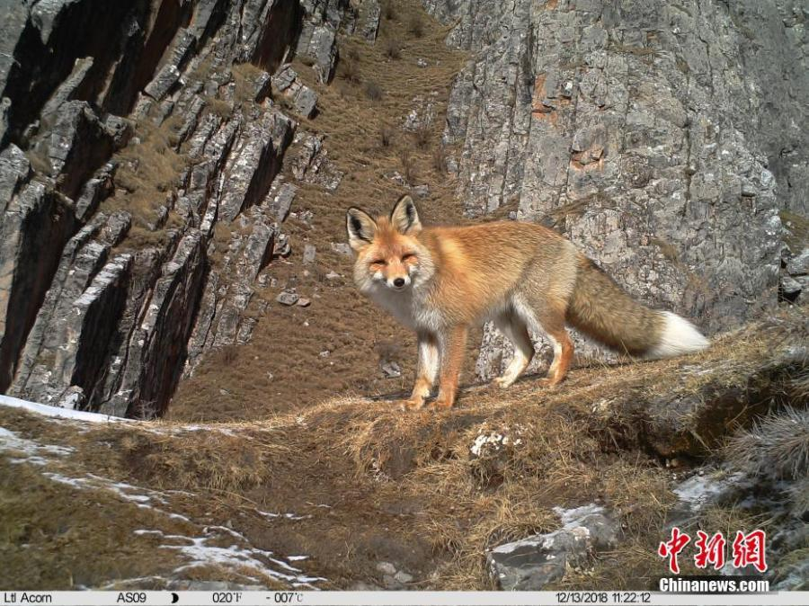 Photos taken by infrared camera and released by the Shanshui Conservation Center in Beijing, on Jan. 21, 2019, show a red fox in the Three-River Source National Nature Reserve (Sanjiangyuan) in Qinghai Province. Researchers have found a great number of rare wild animals in the reserve. (Photo provided to China News Service)