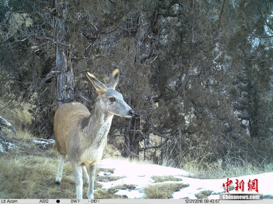 Photos taken by infrared camera and released by the Shanshui Conservation Center in Beijing, on Jan. 21, 2019, show an alpine musk deer in the Three-River Source National Nature Reserve (Sanjiangyuan) in Qinghai Province. Researchers have found a great number of rare wild animals in the reserve. (Photo provided to China News Service)