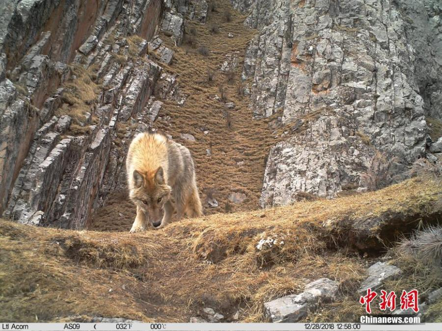 Photos taken by infrared camera and released by the Shanshui Conservation Center in Beijing, on Jan. 21, 2019, show a wolf in the Three-River Source National Nature Reserve (Sanjiangyuan) in Qinghai Province. Researchers have found a great number of rare wild animals in the reserve. (Photo provided to China News Service)