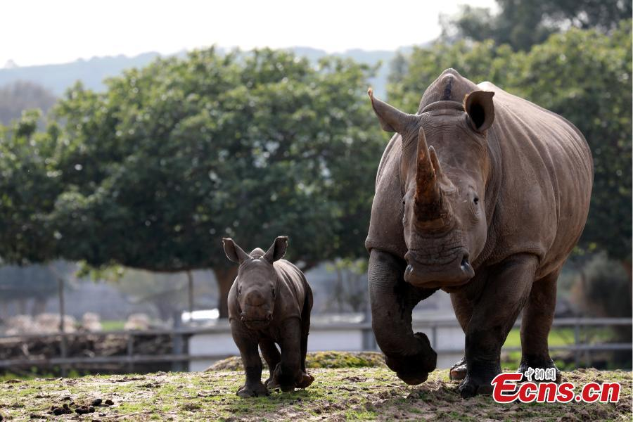 A white rhinoceros, named Karen Peles, walks together with her second calf, a 3-week old female, at the Safari Zoo, in Ramat Gan, Israel, Jan. 21, 2019. (Photo/Agencies)