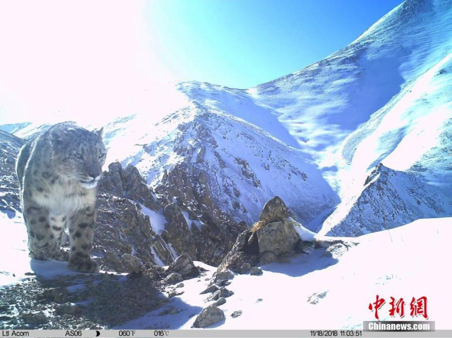 Photos taken by infrared camera and released by the Shanshui Conservation Center in Beijing, on Jan. 21, 2019, show a snow leopard in the Three-River Source National Nature Reserve (Sanjiangyuan) in Qinghai Province. Researchers have found a great number of rare wild animals in the reserve. (Photo provided to China News Service)