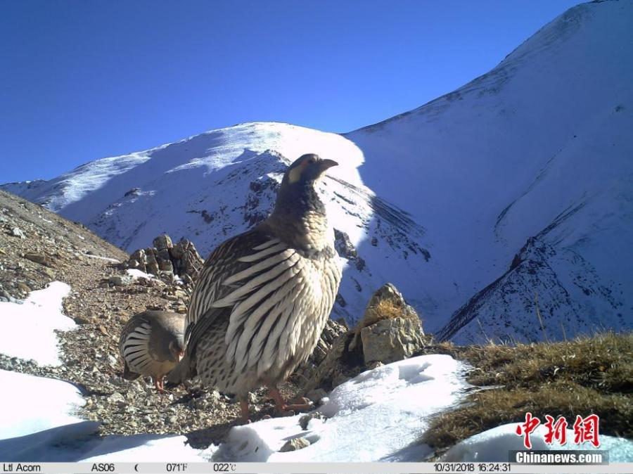 Photos taken by infrared camera and released by the Shanshui Conservation Center in Beijing, on Jan. 21, 2019, show a Tibetan snowcock in the Three-River Source National Nature Reserve (Sanjiangyuan) in Qinghai Province. Researchers have found a great number of rare wild animals in the reserve. (Photo provided to China News Service)
