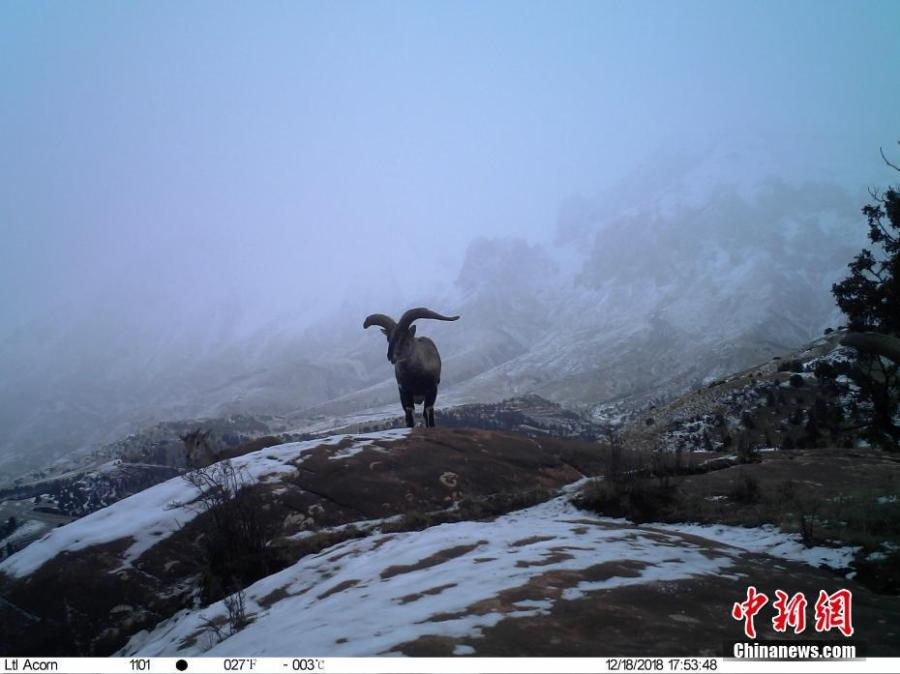 Photos taken by infrared camera and released by the Shanshui Conservation Center in Beijing, on Jan. 21, 2019, show a blue sheep in the Three-River Source National Nature Reserve (Sanjiangyuan) in Qinghai Province. Researchers have found a great number of rare wild animals in the reserve. (Photo provided to China News Service)