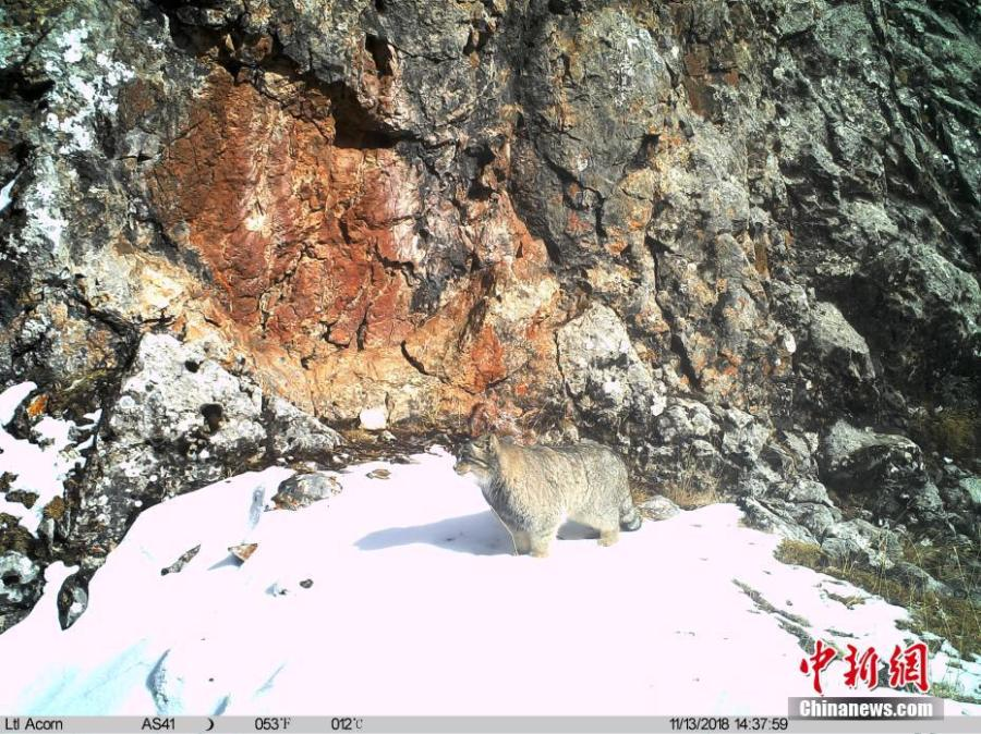 Photos taken by infrared camera and released by the Shanshui Conservation Center in Beijing, on Jan. 21, 2019, show a manul in the Three-River Source National Nature Reserve (Sanjiangyuan) in Qinghai Province. Researchers have found a great number of rare wild animals in the reserve. (Photo provided to China News Service)