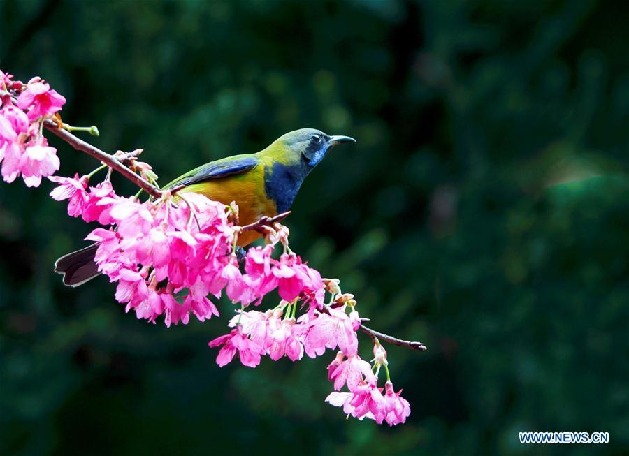 <?php echo strip_tags(addslashes(A leafbird gathers honey from cherry flowers at the Fuzhou National Forest Park in Fuzhou, capital of southeast China's Fujian Province, Jan. 20, 2019. (Xinhua/Mei Yongcun))) ?>