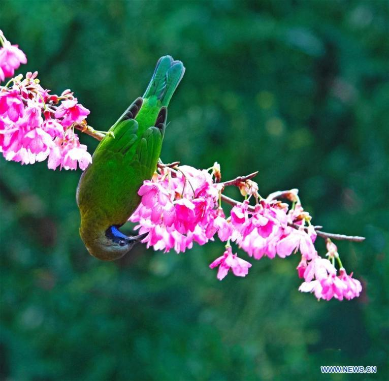 A leafbird gathers honey from cherry flowers at the Fuzhou National Forest Park in Fuzhou, capital of southeast China\'s Fujian Province, Jan. 20, 2019. (Xinhua/Mei Yongcun)