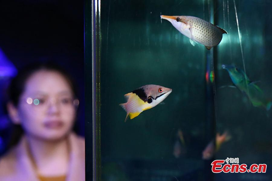 Different species of fish are on display at Nanjing Underwater World aquarium in Nanjing City, East China\'s Jiangsu Province, Jan. 21, 2019. Small tropical marine fish were housed at the aquarium during an exhibition to welcome the Spring Festival, China\'s Lunar New Year. (Photo: China News Service/Yang Bo)
