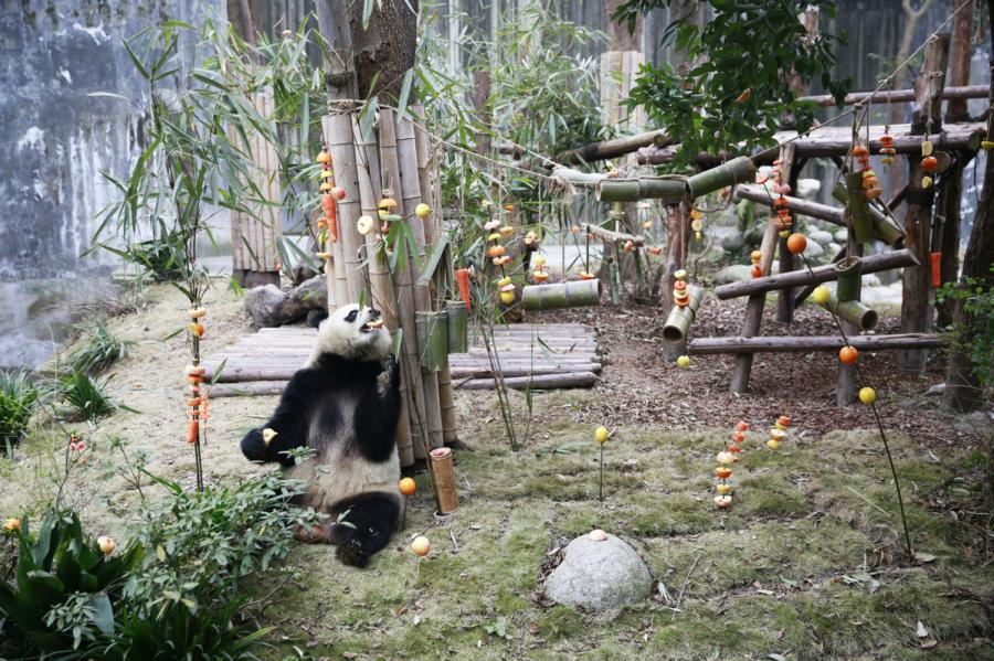 Miao Miao the giant panda enjoys its fruit feast at the Chengdu Research Base of Giant Panda Breeding in Southwest China\'s Sichuan Province on Jan. 23, 2019. (Photo by Zhu Xingxin/Asianewsphoto) The Chengdu Research Base of Giant Panda Breeding in Southwest China\'s Sichuan province held a special fruit feast on Wednesday for Miao Miao, a giant panda born in 2012, as a way to welcome the upcoming Lunar New Year. The feast included a combination of honey, apples and other common ingredients that pandas usually like to eat. Lemons, carrots and oranges also were added.