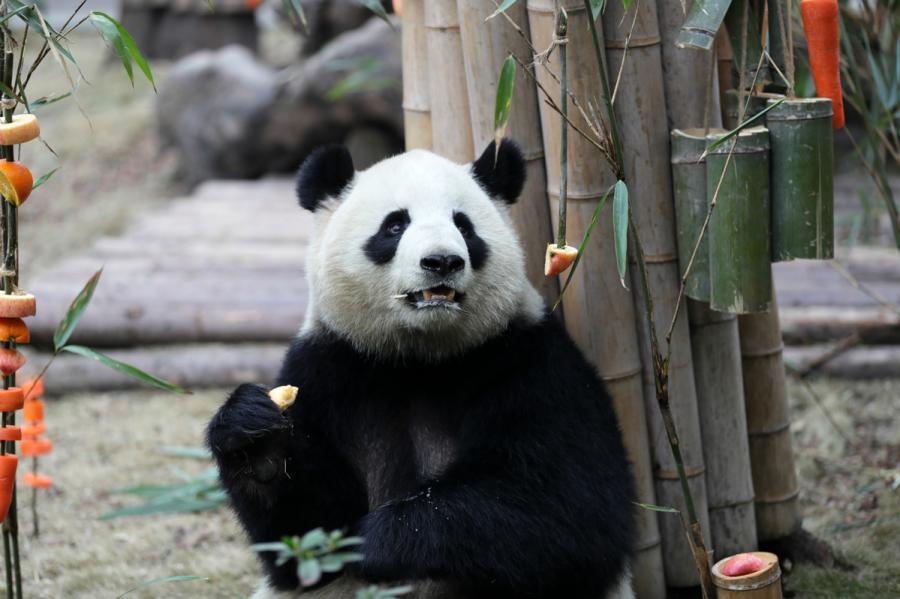 Miao Miao the giant panda enjoys its fruit feast at the Chengdu Research Base of Giant Panda Breeding in Southwest China\'s Sichuan Province on Jan. 23, 2019. (Photo by Zhu Xingxin/Asianewsphoto)
