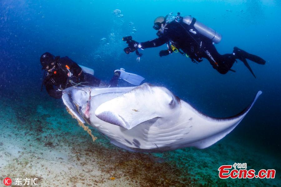 Two divers have rescued a manta ray entangled by a fishing line during their scuba diving at Manta Bowl, the Philippines. The divers later freed the injured fish and also took a selfie with it. (Photo/IC)