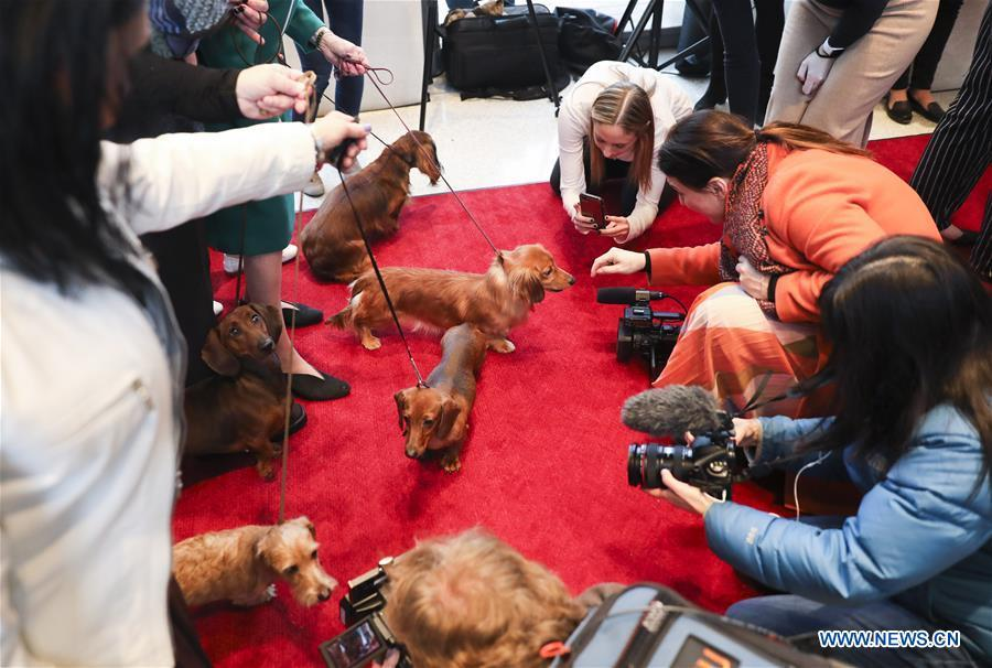 Dachshunds are seen at a press preview of the 143rd Annual Westminster Kennel Club Dog Show in New York, the United States, Jan. 23, 2019. The 143rd Annual Westminster Kennel Club Dog Show will be held on Feb. 11 to 12. (Xinhua/Wang Ying)