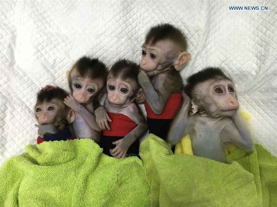 Photo taken on Nov. 27, 2018 shows the five cloned monkeys with circadian rhythm disorders. China has cloned five monkeys from a gene-edited macaque with circadian rhythm disorders, the first time multiple monkeys have been cloned from a gene-edited monkey for biomedical research. Scientists made the announcement Thursday, with two articles published in National Science Review, a top Chinese journal in English. The cloned monkeys were born in Shanghai at Institute of Neuroscience of Chinese Academy of Sciences. (Xinhua/Institute of Neuroscience of Chinese Academy of Sciences)