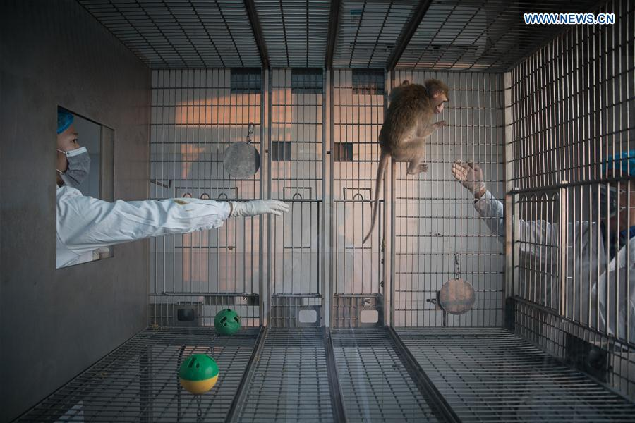 A gene-edited macaque which researchers knocked out BMAL1, a core circadian regulatory transcription factor, interacts with staff members at the Institute of Neuroscience of Chinese Academy of Sciences in Shanghai, east China, Jan. 22, 2019. China has cloned five monkeys from a gene-edited macaque with circadian rhythm disorders, the first time multiple monkeys have been cloned from a gene-edited monkey for biomedical research. Scientists made the announcement Thursday, with two articles published in National Science Review, a top Chinese journal in English. The cloned monkeys were born in Shanghai at Institute of Neuroscience of Chinese Academy of Sciences. (Xinhua/Jin Liwang)