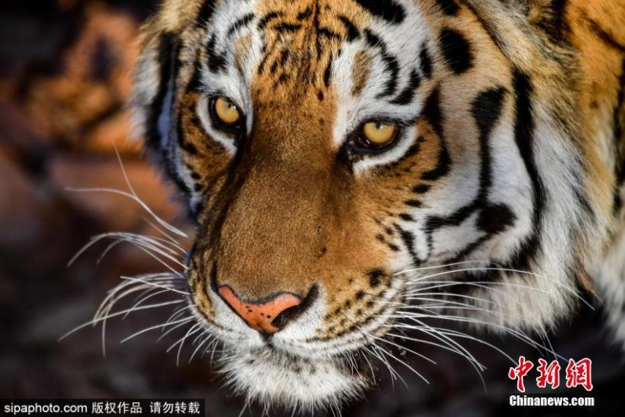 A Siberia tiger is seen at a park before its relocation to a tiger center in Krasnodar, Russia, Jan. 23, 2019. (Photo/SipaPhoto)
