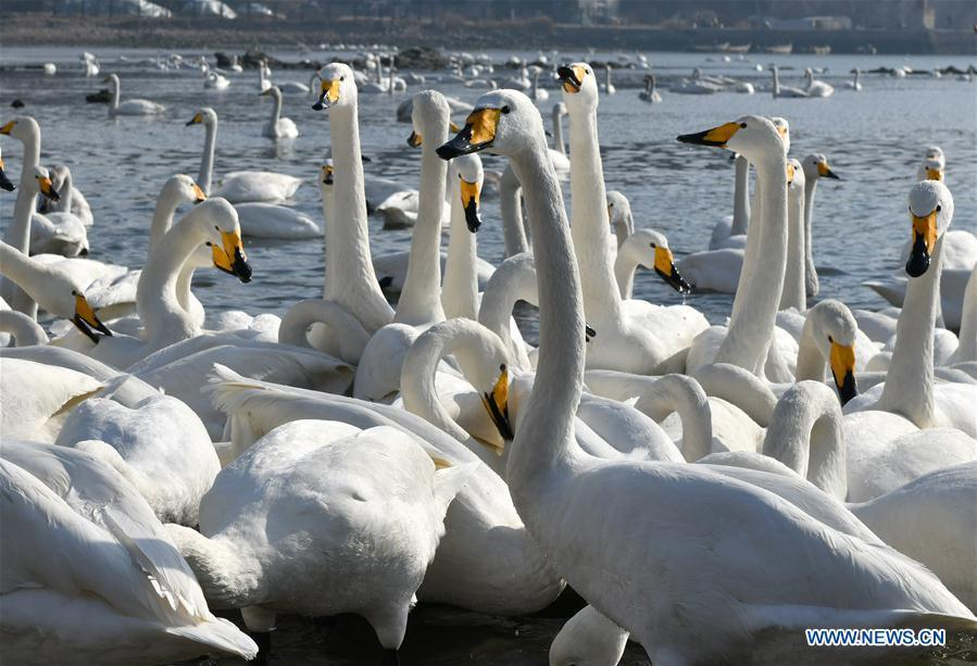 Swans rest in the bay at Yandunjiao Village in Rongcheng City, east China\'s Shandong Province, Jan. 23, 2019. Around 1,000 swans fly from Siberia to the Yandunjiao bay to spend winter each year, with the establishment of the Rongcheng state-level swan nature reserve and the increased public awareness of protection of swans. (Xinhua/Zhu Zheng)