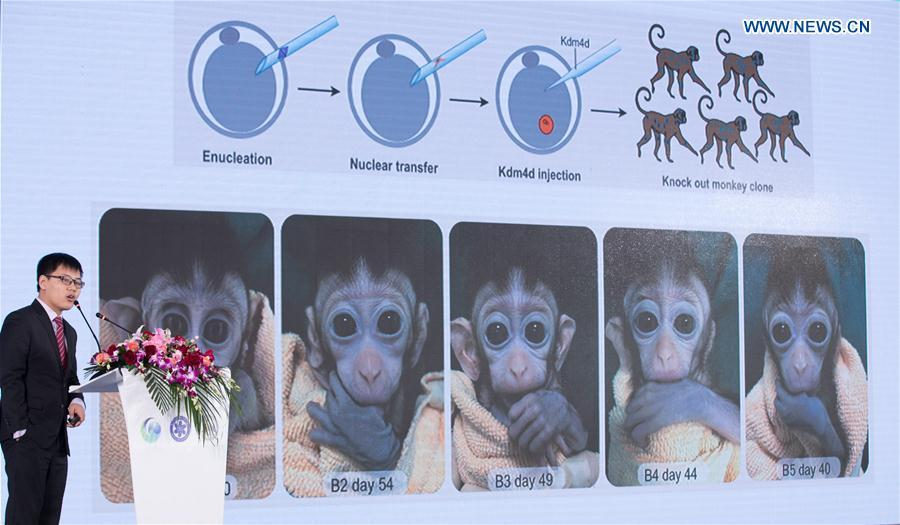 Liu Zhen, a researcher of the Institute of Neuroscience of Chinese Academy of Sciences, introduces relative research achievements about the cloned monkeys at a press conference in Shanghai, east China, Jan. 23, 2019. China has cloned five monkeys from a gene-edited macaque with circadian rhythm disorders, the first time multiple monkeys have been cloned from a gene-edited monkey for biomedical research. Scientists made the announcement Thursday, with two articles published in National Science Review, a top Chinese journal in English. The cloned monkeys were born in Shanghai at Institute of Neuroscience of Chinese Academy of Sciences. (Xinhua/Jin Liwang)