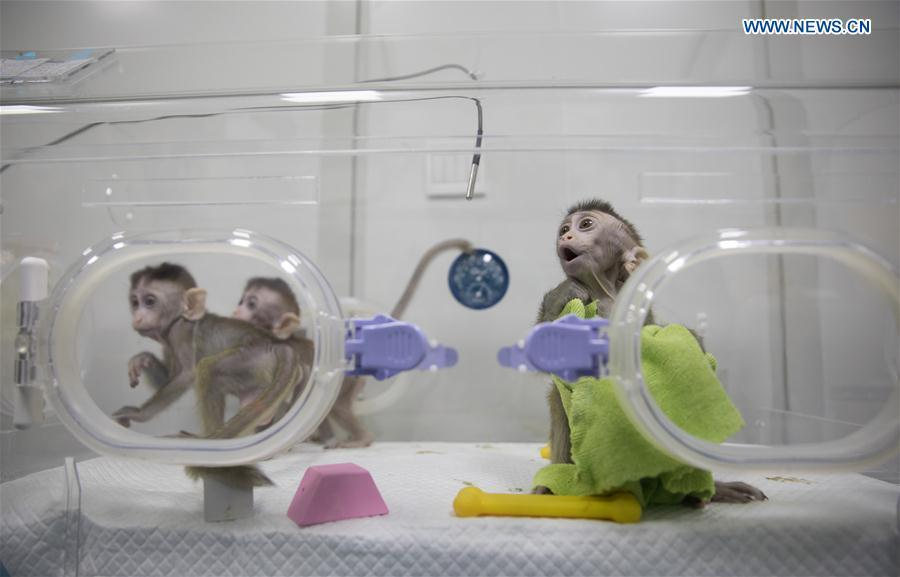 Photo taken on Jan. 22, 2019 shows the cloned monkeys with circadian rhythm disorders at the Institute of Neuroscience of Chinese Academy of Sciences in Shanghai, east China. China has cloned five monkeys from a gene-edited macaque with circadian rhythm disorders, the first time multiple monkeys have been cloned from a gene-edited monkey for biomedical research. Scientists made the announcement Thursday, with two articles published in National Science Review, a top Chinese journal in English. The cloned monkeys were born in Shanghai at Institute of Neuroscience of Chinese Academy of Sciences. (Xinhua/Jin Liwang)