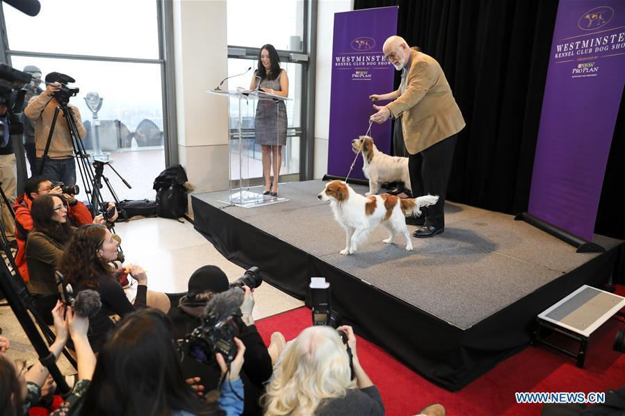 A Nederlandse Kooikerhondje (front) is introduced as a new Westminster debut breed at a press preview of the 143rd Annual Westminster Kennel Club Dog Show in New York, the United States, Jan. 23, 2019. The 143rd Annual Westminster Kennel Club Dog Show will be held on Feb. 11 to 12. (Xinhua/Wang Ying)