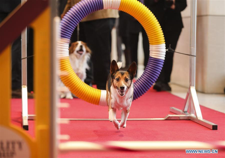A dog is seen during an agility demonstration at a press preview of the 143rd Annual Westminster Kennel Club Dog Show in New York, the United States, Jan. 23, 2019. The 143rd Annual Westminster Kennel Club Dog Show will be held on Feb. 11 to 12. (Xinhua/Wang Ying)
