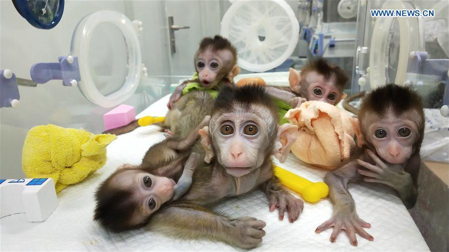 Photo taken on Nov. 26, 2018 shows the five cloned monkeys with circadian rhythm disorders. China has cloned five monkeys from a gene-edited macaque with circadian rhythm disorders, the first time multiple monkeys have been cloned from a gene-edited monkey for biomedical research. Scientists made the announcement Thursday, with two articles published in National Science Review, a top Chinese journal in English. The cloned monkeys were born in Shanghai at Institute of Neuroscience of Chinese Academy of Sciences. (Xinhua/Institute of Neuroscience of Chinese Academy of Sciences)