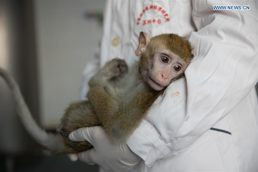 Photo taken on Jan. 22, 2019 shows the gene-edited macaque with circadian rhythm disorders, from whom the five monkeys were cloned, at the Institute of Neuroscience of Chinese Academy of Sciences in Shanghai, east China. China has cloned five monkeys from a gene-edited macaque with circadian rhythm disorders, the first time multiple monkeys have been cloned from a gene-edited monkey for biomedical research. Scientists made the announcement Thursday, with two articles published in National Science Review, a top Chinese journal in English. The cloned monkeys were born in Shanghai at Institute of Neuroscience of Chinese Academy of Sciences. (Xinhua/Jin Liwang)