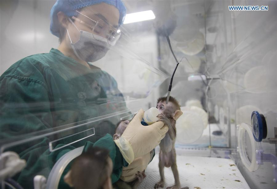 A staff member feeds a cloned monkey with circadian rhythm disorders at the Institute of Neuroscience of Chinese Academy of Sciences in Shanghai, east China, Jan. 22, 2019. China has cloned five monkeys from a gene-edited macaque with circadian rhythm disorders, the first time multiple monkeys have been cloned from a gene-edited monkey for biomedical research. Scientists made the announcement Thursday, with two articles published in National Science Review, a top Chinese journal in English. The cloned monkeys were born in Shanghai at Institute of Neuroscience of Chinese Academy of Sciences.(Xinhua/Jin Liwang)