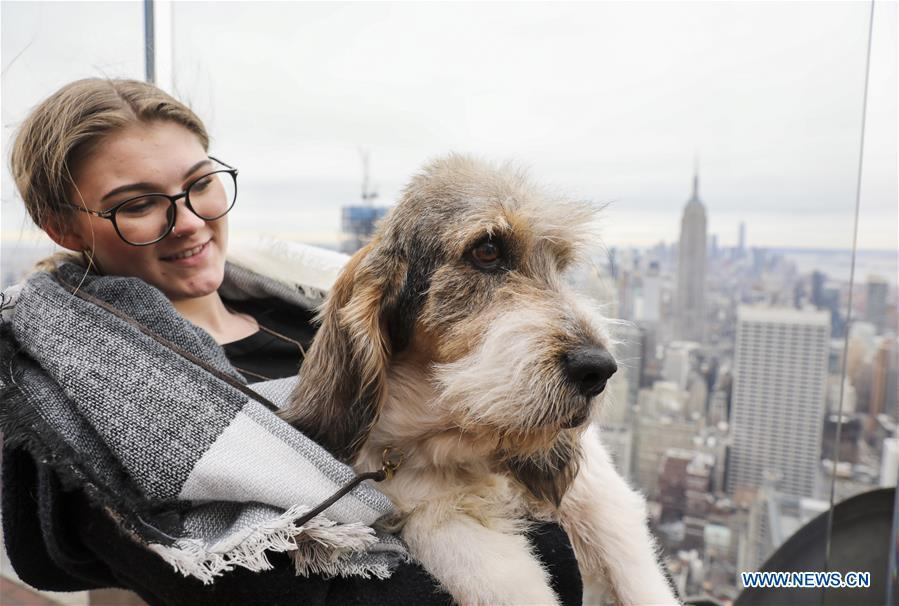A Grand Bassett Griffon Vendeen is introduced as a new Westminster debut breed at a press preview of the 143rd Annual Westminster Kennel Club Dog Show in New York, the United States, Jan. 23, 2019. The 143rd Annual Westminster Kennel Club Dog Show will be held on Feb. 11 to 12. (Xinhua/Wang Ying)