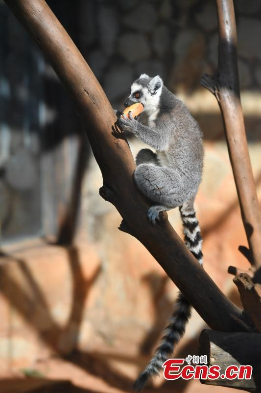 Animals enjoy a sweet treat in the lead-up to Spring Festival at Yunnan Wildlife Zoo in Kunming City, Southwest China\'s Yunnan Province, Jan. 23, 2019. Keepers provided animals including a sun bear, a mandrill, ring-tailed lemurs and orangutans with their favorite fruits. (Photo: China News Service/Liu Ranyang)