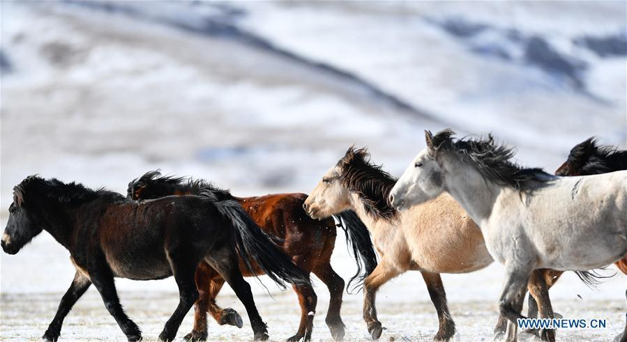 A herd of horses are seen at the snow-covered Shandan Ranch in Shandan County of Zhangye City, northwest China\'s Gansu Province, Jan. 23, 2019. (Xinhua/Chen Bin)