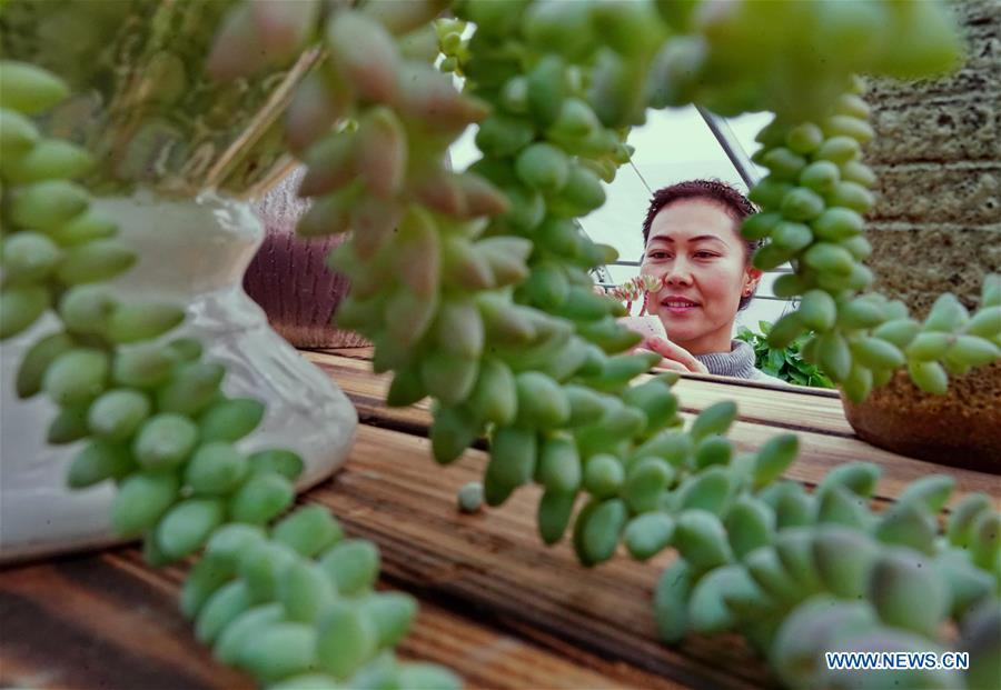 Xu Caihong arranges succulent plants at a greenhouse in Luanzhou City, north China\'s Hebei Province, Jan. 23, 2019. Xu Caihong, 39, began her succulent plants growing in 2016, and now she has three greenhouses for the plants after three years of efforts. By promoting both online and off-line sales, the annual sales of the plants has reached 1 million yuan (about 147,234 US dollars). (Xinhua/Yang Shiyao)