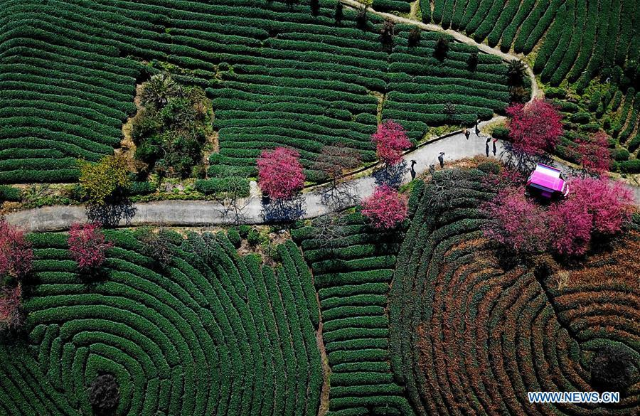 Aerial photo taken on Jan. 24, 2019 shows the scenery of cherry in the Taipin Yinghua Tea Garden in Yongfu Town of Zhangping City, southeast China\'s Fujian Province. (Xinhua/Wei Peiquan)