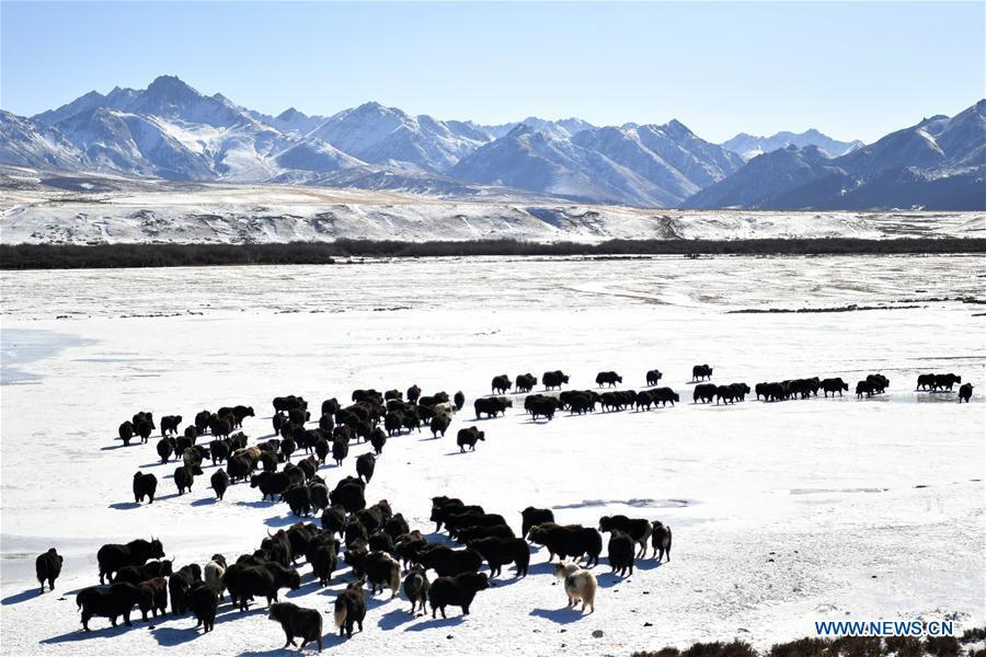 A herd of yaks are seen grazing on the snow-covered grassland at the Shandan Ranch with the Qilian Mountains in the background in Shandan County of Zhangye City, northwest China\'s Gansu Province, Jan. 23, 2019. (Xinhua/Li Xiao)