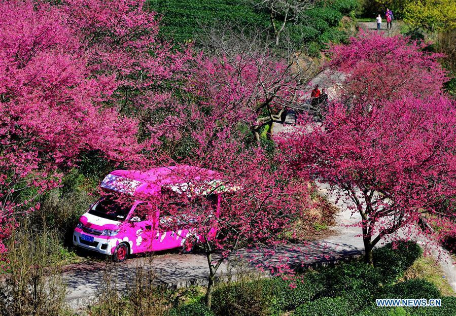 Tourists enjoy the view of cherry in the Taipin Yinghua Tea Garden in Yongfu Town of Zhangping City, southeast China\'s Fujian Province, Jan. 24, 2019. (Xinhua/Wei Peiquan)