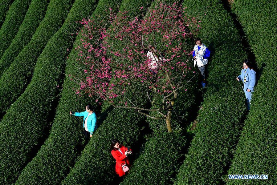 Tourists enjoy the view of cherry in the Taipin Yinghua Tea Garden in Yongfu Town of Zhangping City, southeast China\'s Fujian Province, Jan. 24, 2019. (Xinhua/Wei Peiquan)