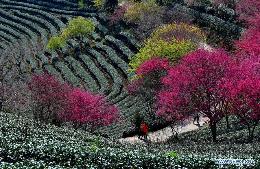 Photo taken on Jan. 24, 2019 shows the scenery of cherry in the Taipin Yinghua Tea Garden in Yongfu Town of Zhangping City, southeast China\'s Fujian Province. (Xinhua/Wei Peiquan)