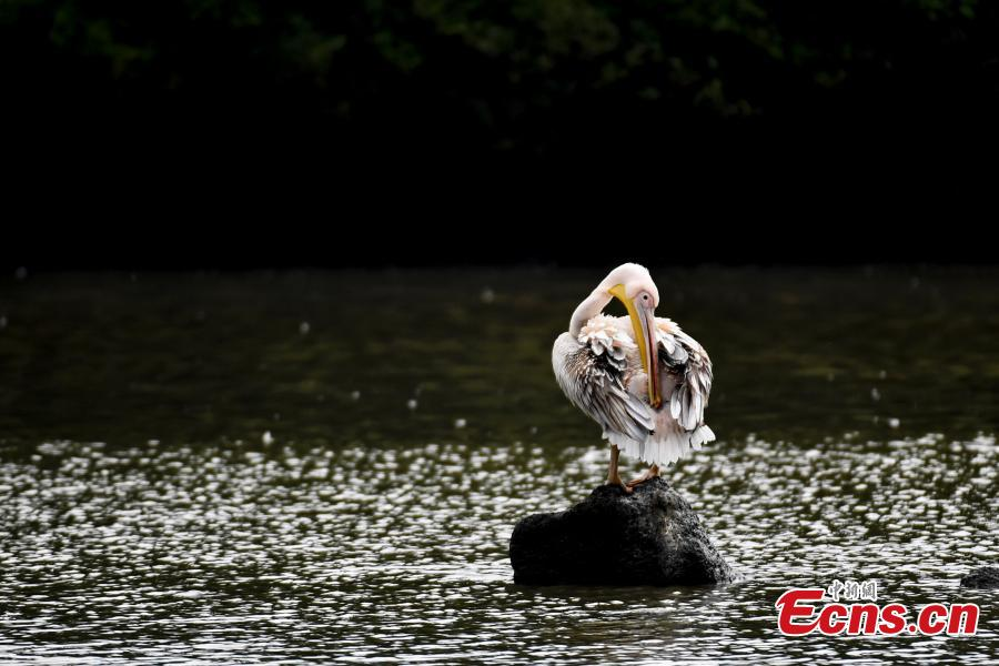 A number of great white pelican have been spotted in a village pond in Haikou City, Hainan Province, Jan. 24, 2019. The bird is a species under second class animal protection in China. (Photo/China News Service)