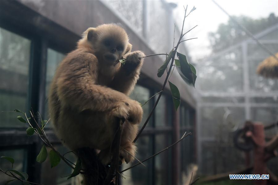 Golden snub-nosed monkey \